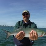 Bluefish are pleasing Sarasota anglers!