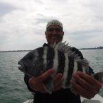 Sheepshead Fishing hot in Siesta Key