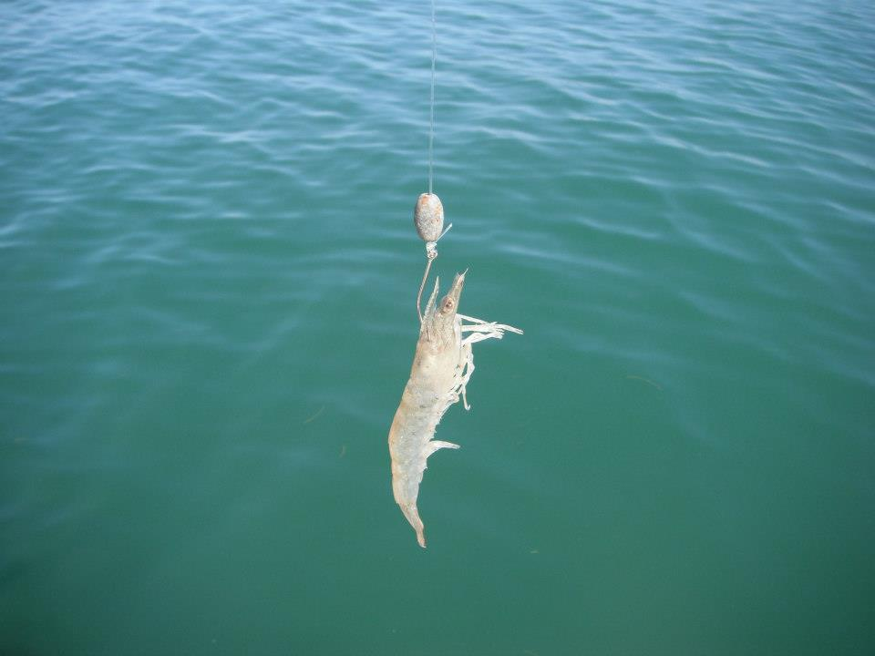 Fishing with live shrimp